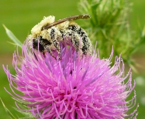 Photo by Laura Russo, from Penn State Center for Pollinator Research website