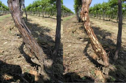 Late June2014, Chancellor grape.  Left: Swollen area at base of the trunk due to crown gall development as a result of infection with the crown gall bacterium and winter cold injury to the base of the trunk.  Right: Bark peeled away to reveal fresh white gall development. The vine has a full canopy and otherwise appears healthy, but may eventually collapse later in the season as gall development chokes off transport through the trunk.