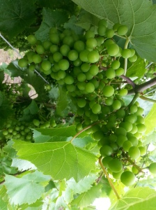 Unripe, green grapes.
