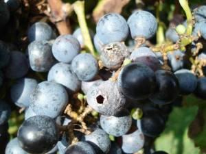 Aug 2014_Jody_grapes3