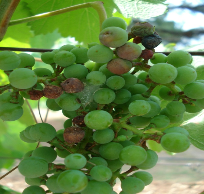 Grape berry moth model wine grapes u - Difference between wine grapes and table grapes ...
