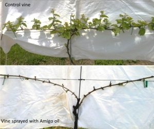 Figure 3. Control and oil-treated Riesling vines (May 20, 2014).