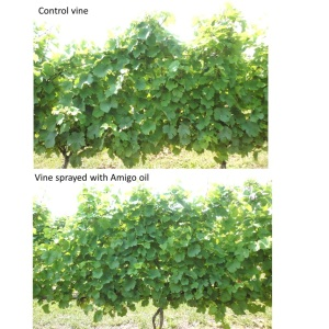Figure 4. Control and oil-treated Riesling vines (July 9, 2014).