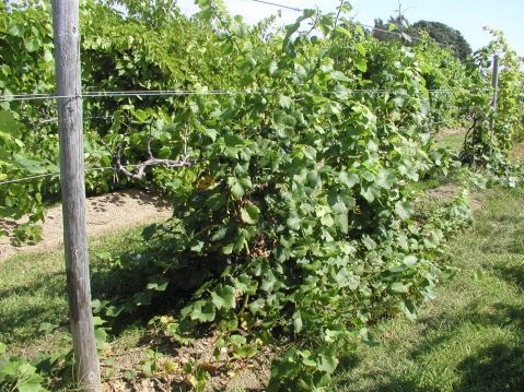 Vitis vinifera 'Pinot Noir' vines by September: the trunks are long dead, but serve as support for healthy renewals emanating from below galls. We hope to restore vines to vsp trellis system by next spring.