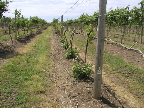 Vitis vinifera in our grape variety trial. Some of the V. vinifera in the trial were infected with crown gall and the tops of vines were barely alive in spring, but grafts were protected by hilling of soil last fall and healthy new scion shoots from the graft are being groomed as replacement trunks for the 2015 season.