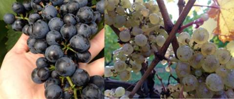 Fig 1. Left: Lemberger at harvest (10/9/2014), Right: Riesling at harvest (10/16/2014)