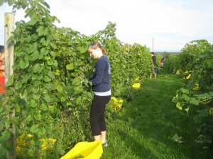 Students participating in grape harvest