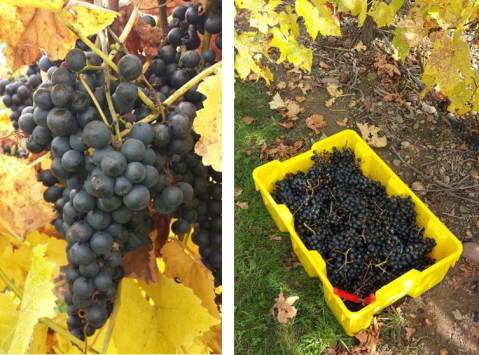 Figure 1.  Close up of a Noiret cluster (left) and the harvested fruit (right) at the time of harvest.