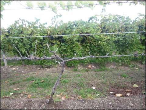 Figure 1. Cold damage at Lake Erie Regional Grape Research and Extension Center vineyard. In the front: cold sensitive Syrah (V. vinifera  L.) vine killed back to the ground.  In the back: Healthy cold hardy Marquette (Vitis spp.) vines.