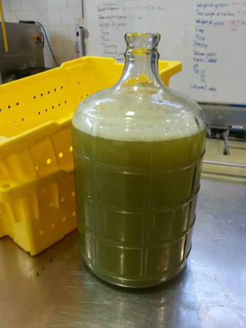 Gruner Veltliner is a high protein variety that often needs a bentonite fining treatment prior to primary fermentation. This aggressive treatment pre-fermentation may be detrimental to other varieties by over-clarifying juice.