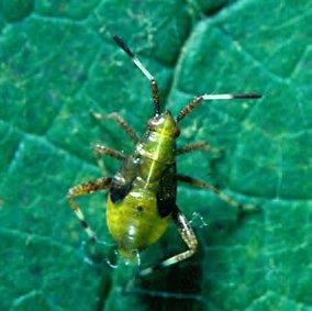 Banded Grape Bug Nymph. Photo found at: http://nysipm.cornell.edu/factsheets/grapes/pests/bgb/bgb.pdf
