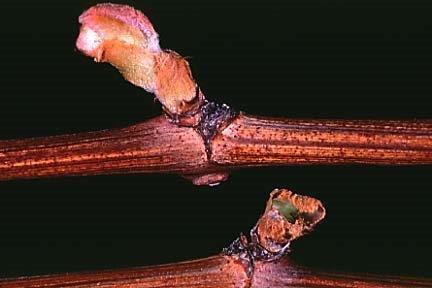 Cutworm Injured Grape Bud. Photo found at: Photo: http://nysipm.cornell.edu/factsheets/grapes/pests/cc/cc_fig5.asp