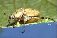 Rose Chafer Beetle. Photo found at: http://www.oardc.ohio-state.edu/grapeipm/rose_chafer.htm