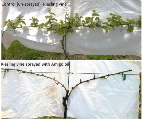 Figure 1. Control and oil-treated Riesling vines (May 20, 2014).
