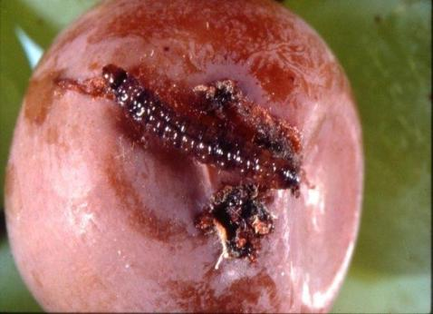 Mature GBM larva on berry. Photo found at: http://nysipm.cornell.edu/factsheets/grapes/pests/gbm/gbm_fig3.asp