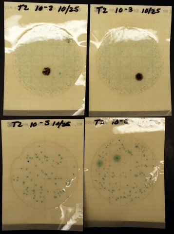 Petrifilm that show yeast and mold populations from wine sample.
