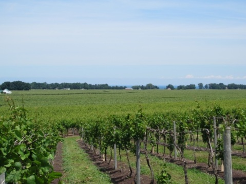 Figure 1. View of vineyards in North East, Pennsylvania.