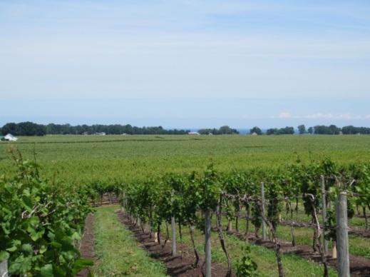 Figure 1. View of vineyards in North East, Pennsylvania.