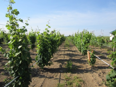 Figure 3. Riesling vines. The grower has retained all the suckers the vines produced. Two suckers per vine will be trained to be new trunks and cordons.