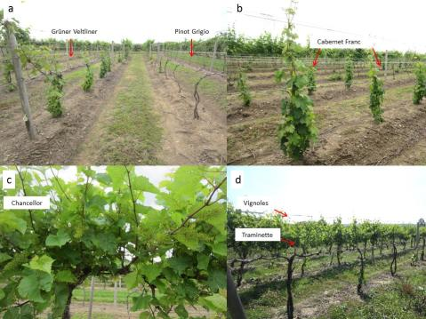 Figure 4. Grüner Veltliner, Pinot Grigio (a), Cabernet Franc (b) and Chancellor vines (c) at the variety evaluation planting established at LERGREC. Traminette and Vignoles vines at a commercial vineyard located in the Lake Erie region.