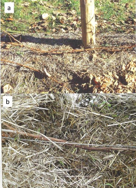 Figure 5. Canes tucked around (a) a plastic bailing twine or (b) a wire. Canes are covered with straw before the winter. Photos credit: Sigel G., Winter Injury to Grapevines and Methods of Protection.