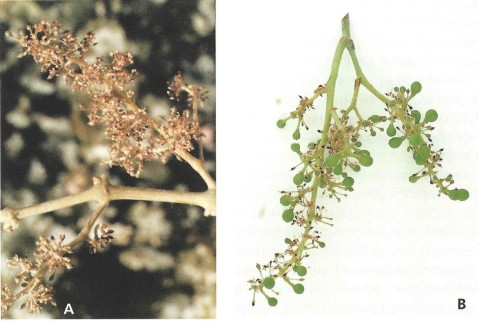 Figure3. Effect of bad weather conditions during bloom season on fruit set. A) Shiraz inflorescence at the end of bloom. Most caps failed to detach. B) Shiraz cluster exhibits signs of poor fruit set due to 'coulure' and high percentage of small green (shot) berries. Many dead ovaries are still on the peduncle (Photographs and text by May et al. 2004, [4]).