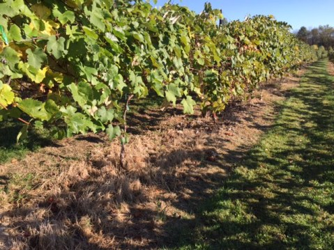 Photo 1: Good weed control continued for several months in vineyard rows where weeds were partially cut back and then treated with glufosinate.