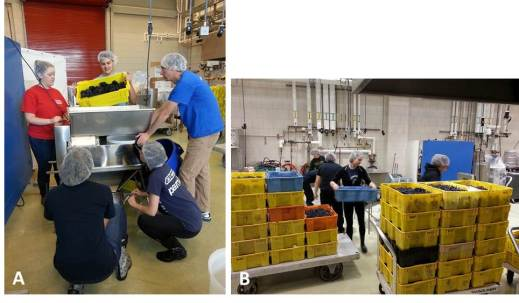 Figure 3: Crush is an essential part of the independent study class and graduate student research.  Careful care is taken by the students to ensure that proper sanitation is taken, accurate yields are measured, and that treatments are adequately separated into replicate fermentations. Photos by: Denise M. Gardner