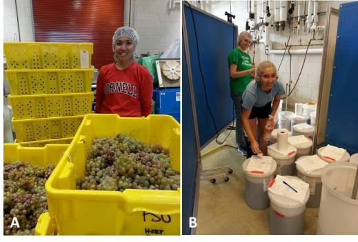 Figure 9:  The Crouch Fellowship currently supports a project pertaining to the impact of spray-on frost protection products on grape and wine quality.  A: Graduate student, Maria Smith, gets ready for a full day of processing after a full day of harvest. B: Marielle and Cara monitor the red wine fermentations through daily punch downs, temperature logs, and Brix measurements.  Photos by: Denise M. Gardner