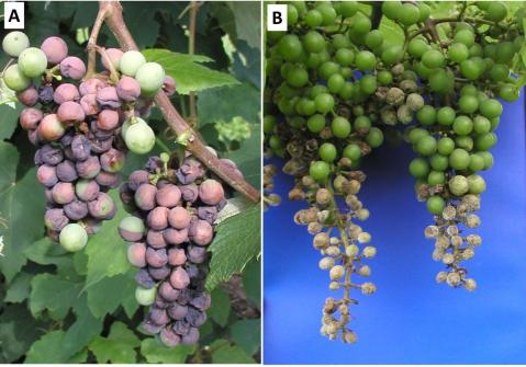 Figure 5. Concord clusters with black rot (A) and Chancellor clusters with downy mildew (B) symptoms.