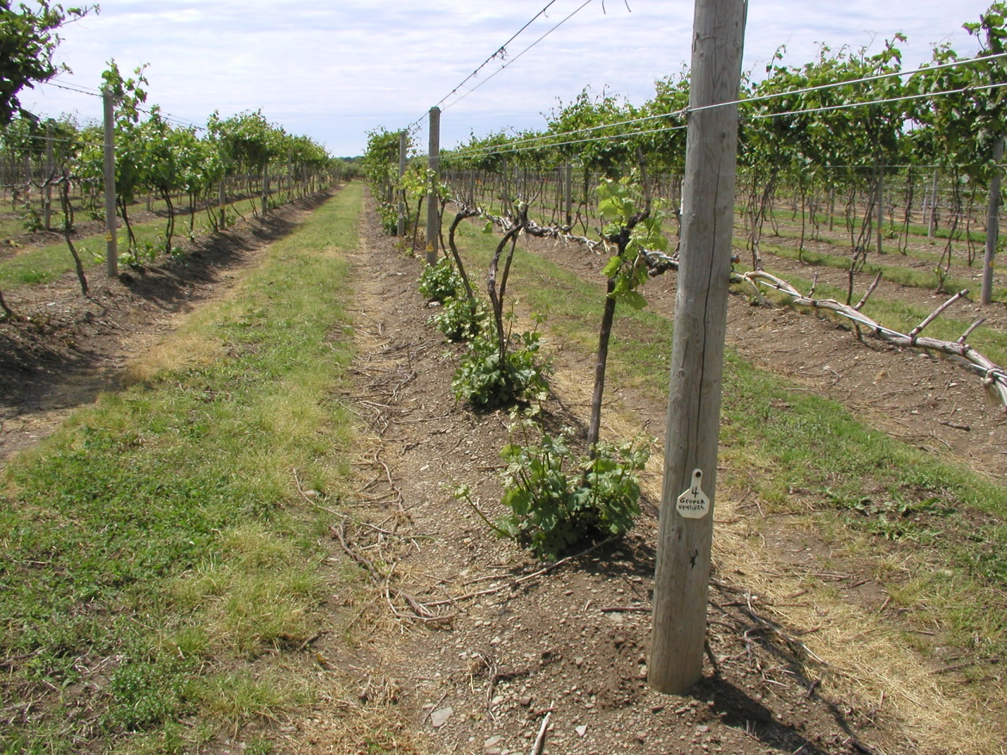 Crown Gall – A Growing Concern in Vineyards   Penn State