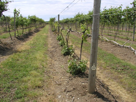 Figure 3: Picture from the NE1020 grape variety trial at North East in Erie county PA. Note the six-year-old Gruner veltliner/101-14 vines (foreground) that were laid low by the 2014 Polar Vortex. Although existing canopies are dead or nearly dead, a flush of sucker growth from the scion (protected by hilling during the previous fall) provides the means for trunk renewal. Also note the full canopies of cold hardy French hybrids within the same block. While ALL cultivars of V. vinifera were killed back to the ground, all hybrids went on to produce partial to full crops in that year.