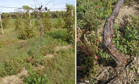 Figure 4 and 5: Collapsed vine of French hybrid 'Chambourcin' (left) following winter cold damage to the trunk and onset of crown gall at the base of the trunk (right). The entire vineyard eventually collapsed, but was completely restored with new trunks from shoots (suckers) emanating from below galls.