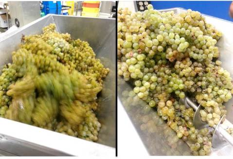 Wine grapes going into a crusher destemmer. Photo by: Denise M. Gardner, Penn State Extension Enologist
