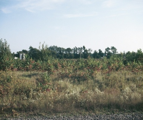 Figure 2. Overgrown areas around the vineyard can be overwintering sites for grape berry moth pupae.