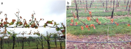 Figure 3. Comparison of freeze damage in Noiret (Vitis hybrid) shoots after a spring frost event. The vines were trained on (a) top wire cordon (6 ft. from the ground) and (b) vertical shoot position (3 ft. from the ground) (b). The two vines (a and b) are in adjacent, parallel rows.
