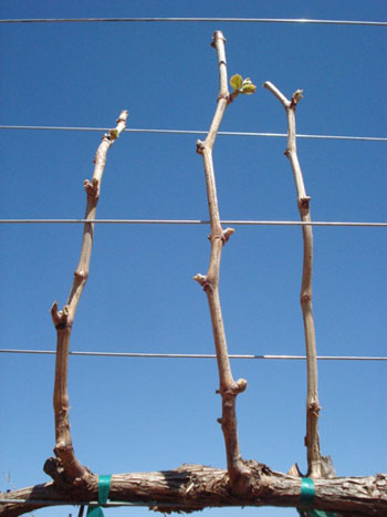 Figure 4. Budbreak of apical buds and suppression of basal buds in double-pruning. Source: Ed Hellman, Texas AgriLife Extension [8]