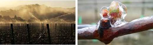 Figure 5. Over-vine sprinkler system in use and green tissue 'wrapped' in ice. Source: https://www.wineshopathome.com/frost-protection-vineyards-2