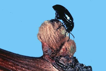 Grape Flea Beetle Photo From: http://nysipm.cornell.edu/factsheets/grapes/pests/gfb/gfb_fig1.asp