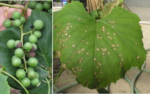 Figure 1. Black rot fruit (left) and leaf (right) infections. Note the one mummified berry at the top of the cluster in the picture on the left. It was likely the source of spores for infections on several other berries of the same cluster just below it.