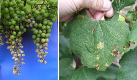 Figure 2. Downy mildew on pea-sized Chancellor fruit (left) and mature Concord leaves (right).