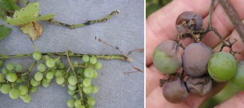 Figure 3: Heavy early Phomopsis infections on shoots and leaves (left) of Concord grape. Fruit infection of Niagara grape (right) that manifests itself during the ripening period.