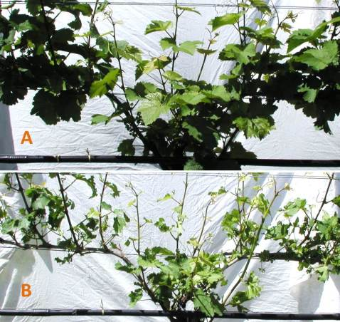 Figure 4A (top) and B (bottom). Canopy of VSP trained Riesling before (top) and after (bottom) mechanized leaf removal utilizing air-pulse technology. Note the dramatic increase in exposure of inflorescences after leaf removal, with little or no damage to inflorescences.