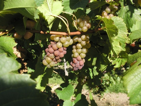 Figure 5. Botrytis bunch rot developing very aggressively on compact Vignoles grape clusters.