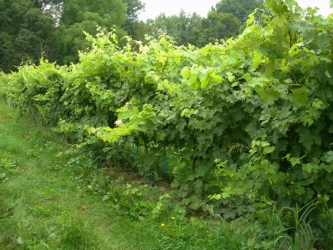 Figure 2. Overly vigorous Cabernet franc vines in the northeastern U.S.