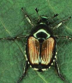 Figure 1: Adult Japanese Beetle, Photo from: https://www.aphis.usda.gov/publications/plant_health/2015/japanese-beetle-handbook.pdf