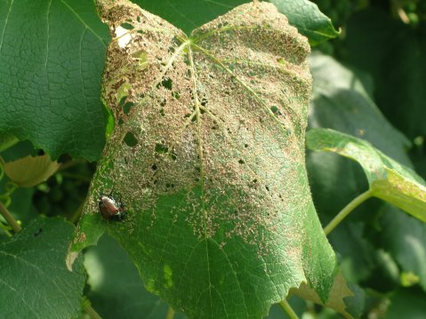 Figure 4: Concord leaf with feeding injury from Japanese Beetle. Photo by: Andy Muza