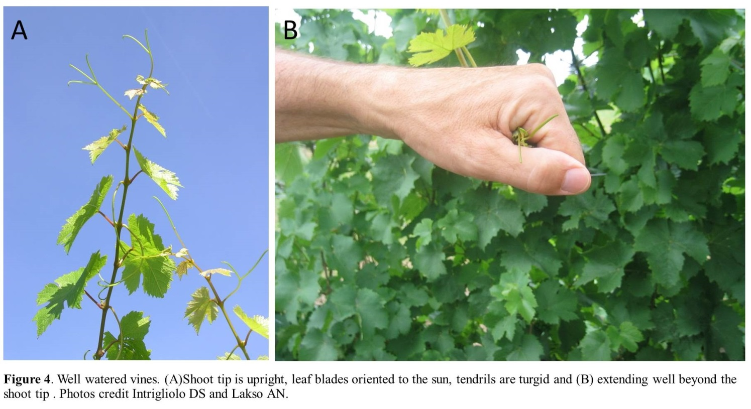 water stressed vines | Wine & Grapes U.