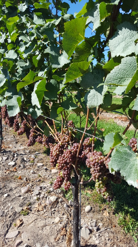 Pinot Grigio grapes surpassing veraison and moving into their full ripening stage. Photo by: Denise M. Gardner