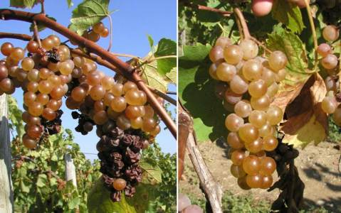 Figure 2. Botrytis bunch rot. The compactness of these bunches has contributed to rapid and severe rotting of large portions of these clusters (left). Loose clusters of the same variety are far less affected by the spread of rot within the bunch (right).